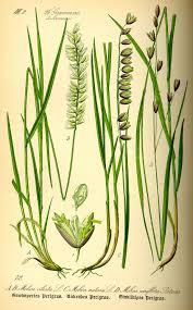 Perlgräser – Wikipedia