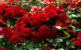 Image result for images of rose garden