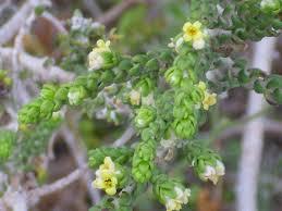 Thymelaea hirsuta - Wikipedia