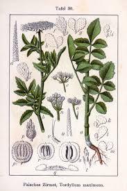 Tordylium maximum – Wikipédia, a enciclopédia livre