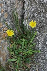 Crepis bellidifolia Loisel.