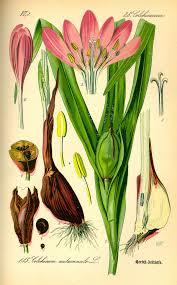 Colchicum autumnale - Wikipedia