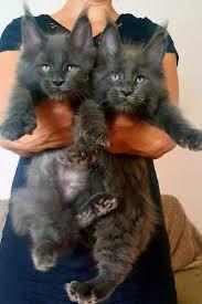 Where to Find Free Maine Coon Kittens | Котик | Мейн кун, <b>Кошки</b> и ...