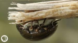 nature s s divers how beetles breathe underwater deep look nature s s divers how beetles breathe underwater deep look kqed science