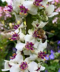 Verbascum chaixii 'Wedding Candles' - Buy Online at Annie's Annuals