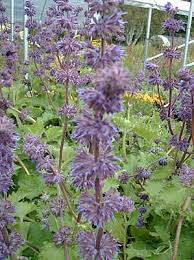 Salvia verticillata 'Purple Rain' at Digging Dog Nursery