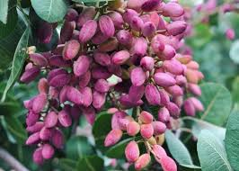 <b>Fresh pistachios</b> - a rare treat indeed - CERES Fair Food