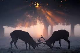 Afbeeldingsresultaat voor rykowisko jeleni