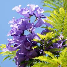 Resultado de imagen para jacarandá flores