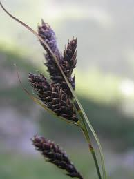 File:Carex aterrima.JPG - Wikimedia Commons