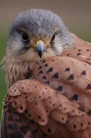 Falconinae