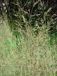 SEINet Portal Network - Agrostis stolonifera