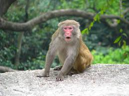 Image result for taipo kau monkey