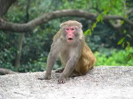Image result for taipo kau monkey