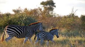 photo essay kruger national park safari kruger safari zebra