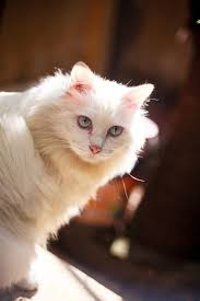 Congenital sensorineural deafness in <b>cats</b> - Wikipedia