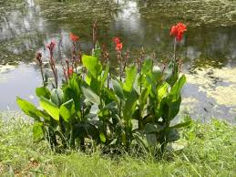 Canna indica - Useful Tropical Plants