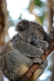 best images about koala s n capital discover great koala bears picture cakes and pictures for koala bears picture pins