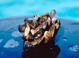 Lake Champlain Invasive Zebra Mussels