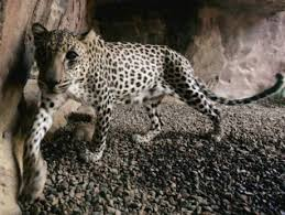 how you can help save the uaes endangered species  gulfnewscom feature arabian wildlife april an arabian leopard paces in the shade at the arabian wildlife cimage credit