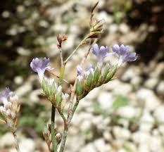 Limonium glomeratum (Tausch) Erben - Portale sulla flora del Parco ...