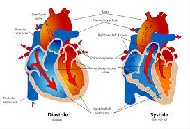 show me a diagram of the human heart  here are a bunch    systole and diastole