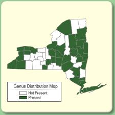 Galinsoga - Genus Page - NYFA: New York Flora Atlas - NYFA: New ...