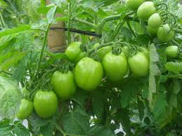 Mencegah sirosis hati dengan mengkonsumsi tomat