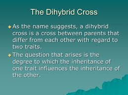 Mendelian Genetics DiHybrid Crosses Independent Assortment Vs     SlidePlayer The Dihybrid Cross     As the name suggests  a dihybrid cross is a cross between