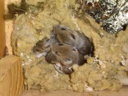 Rodents nest in your home