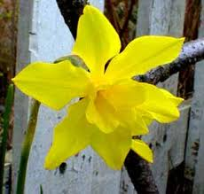 Paghat's Garden: Narcissus x odorus (Campernelle)