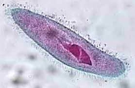 Image result for single cell organisms