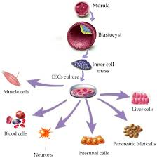 the benefits of stem cell research intechopen com source html 18233