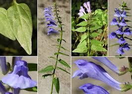 Scutellaria hastifolia L. - Portale sulla flora del basso corso del ...