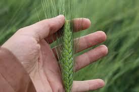 Sivaslı prof 5 bin yıllık yerli tohum buldu
