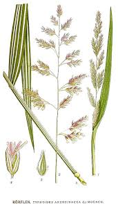 File:473 Typhoides arundinacea.jpg - Wikimedia Commons