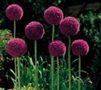 Small Picture Best 25 Allium flowers ideas on Pinterest Purple garden Easy