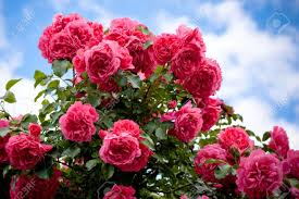 Image result for images of rose flower gardens