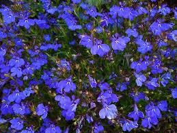 <b>Лобелия</b> - описание с фото, сорта цветка (ампельная ...