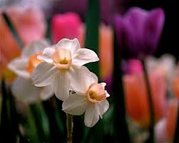 rona black photography s most recent flickr photos picssr narcissus and tulips