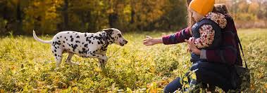 <b>Dalmatian Dog</b> Breed - Facts and Personality Traits   Hill's Pet