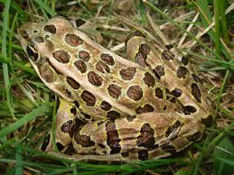 rana pipiens northern leopard frog in grassy meadow  rana pipiens by paul j morris