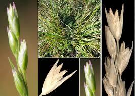 Danthonia decumbens (L.) DC. subsp. decumbens - Portale sulla ...
