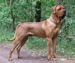 Ξέρετε ποιες φυλές σκύλων εμπλέκονται στο Fila Brasileiro;