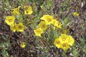 Halimium halimifolium