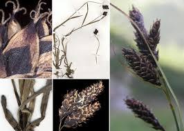 Carex aterrima Hoppe - Portale sulla flora del Parco Naturale ...