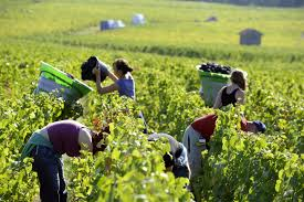 Image result for grape harvesting