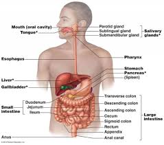small intestine diagram   anatomy human body    small intestine anatomy  middot  digestive system organs diagram