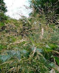 Deschampsia cespitosa – Wikipédia, a enciclopédia livre