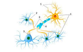Resultado de imagen de El cerebro humano